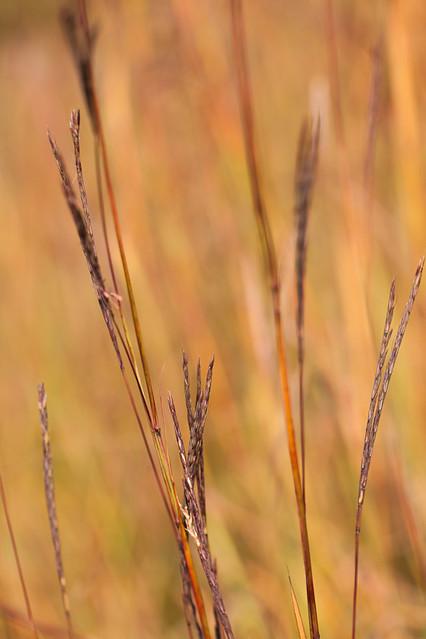 Bluestem Grasses in Tallgrass Prairie