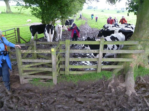 Mud, cows, and walkers intermingling west of Newtown