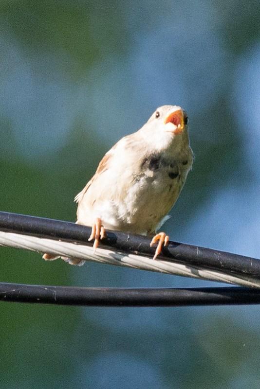 _DSC4010 Song Sparrow
