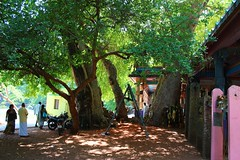 Marudha Tree 5