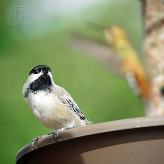 Chickadee and Hummer