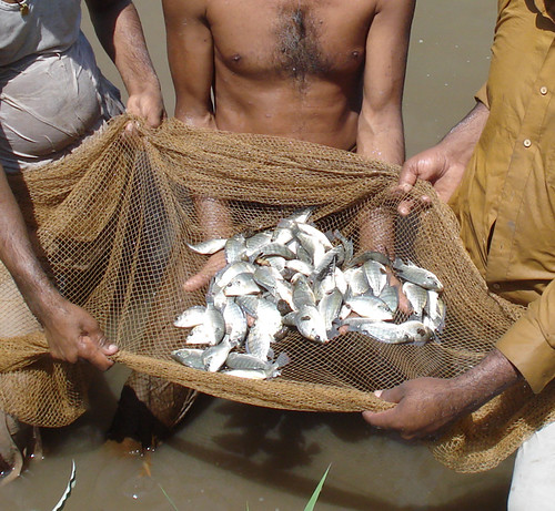 "Workers hold a net full of tilapia at a fish farm in Pakistan. The fish are part of the American Soybean Association's (ASA) World Initiative for Soy in Human Health (WISHH) program called ""FEEDing Pakistan."" The Foreign Agricultural Service (FAS) helped fund the program, which aims to enhance the country's growing aquaculture sector through trial fish feeding using high–protein, floating fish feed produced from U.S. soybean meal. (Courtesy World Initiative for Soy in Human Health)"