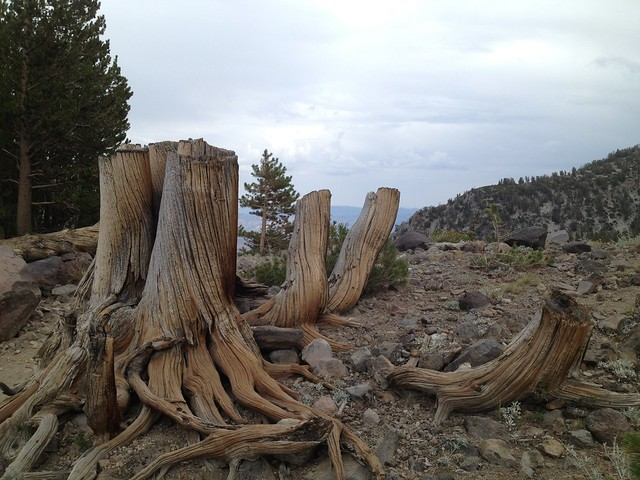 Chopped tree trunks