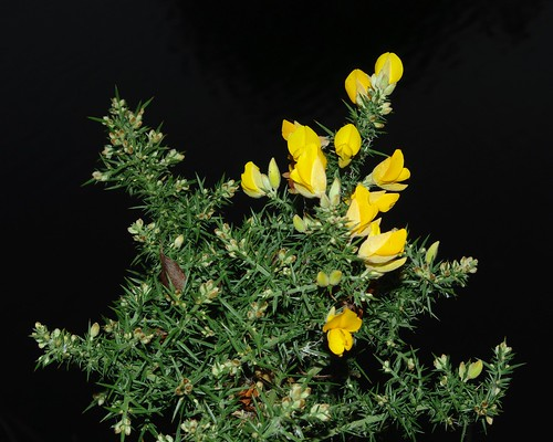 20111227-14_Gorse Flowers - Foxron Locks by gary.hadden