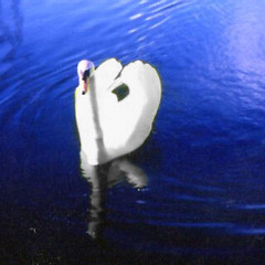 Lubitel photo of swan on lake