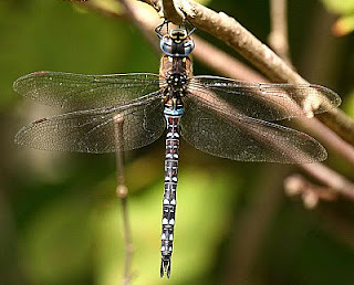 Migrant Hawker, North Cliffe Woods, East Yorkshire
