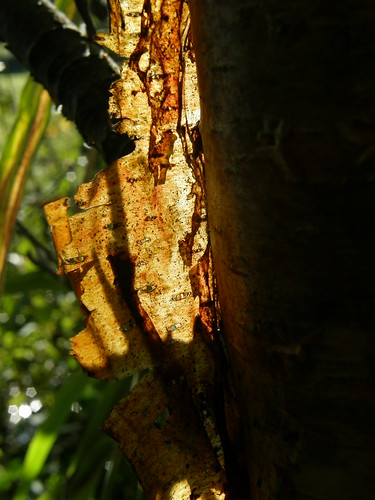 Peeling, back-lit birch bark