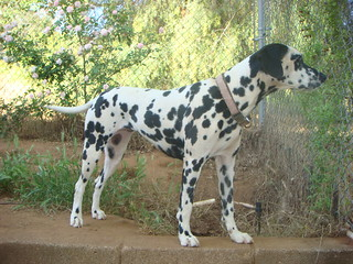 Treasure, recused Dalmatian,