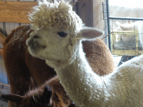 Blue Spruce Alpaca Farm Open House
