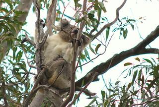 Koala @ Yanchep National Park by simmogem, on Flickr