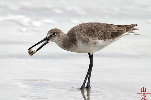 Unknown shorebird