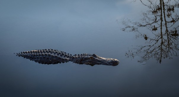 Very still gator and tree reflection