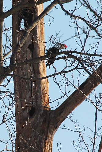 Pileated or What?