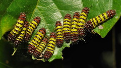 Mid-instar Chalcosiine Day-Flying Moth Caterpillars (Cyclosia midamia, Zygaenidae)