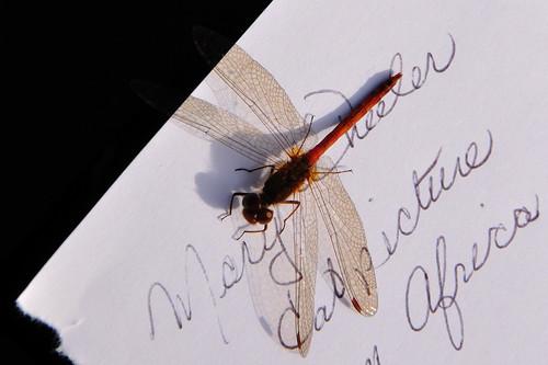 Mary's friendly dragonfly by photographerpainterprintmaker