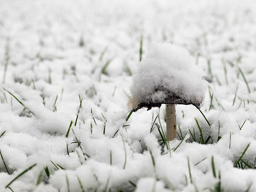 Pilz mit Schneehut