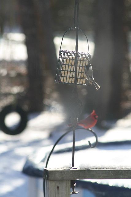 chickadee and cardinal