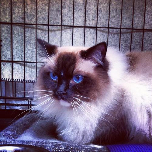 I want! #cat #ragdoll