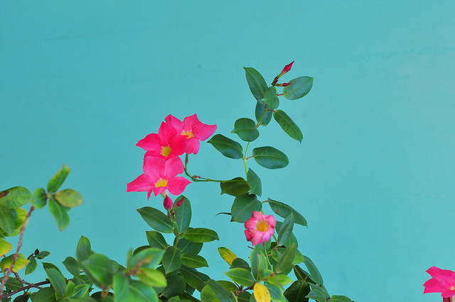 pink +aqua