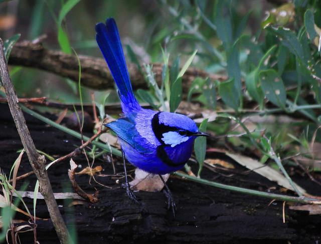 Splendid Fairywren (Malurus splendens)