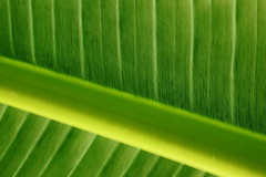 Underside of Palm Leaf