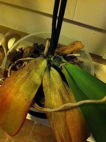Orkidea by niini