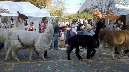Camelid parade.jpg