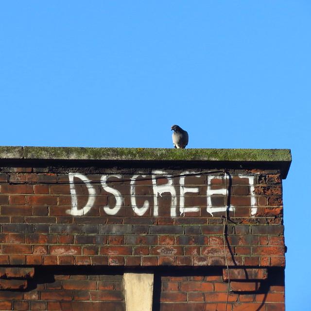 Dscreet pigeon