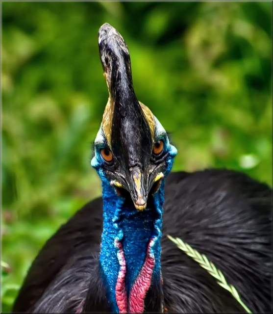 Charming Cassowary