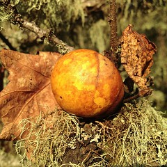 Oak Gall