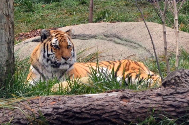 Relaxed Amur Tiger