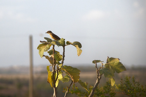 little bird on young fig tree by Ary B