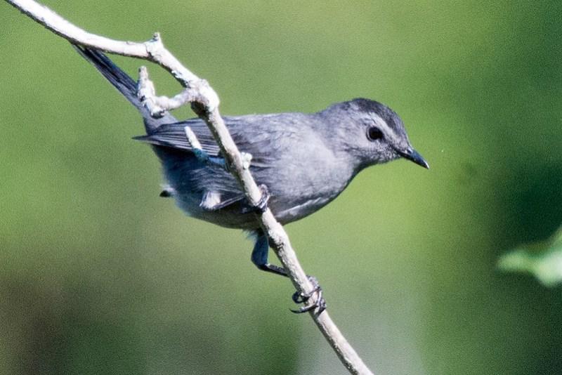 _DSC3624 Grey Catbird