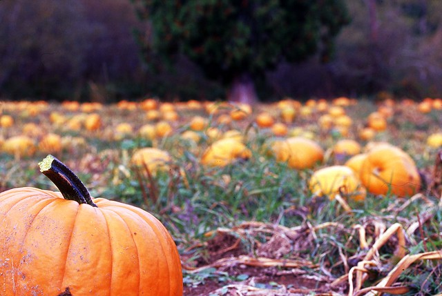 Day 288/365 - Field of Pumpkins