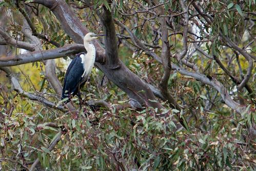 White-necked Heron 2012-12-06 (_MG_7792)