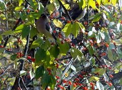 waxwings and berries