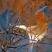 oak leaf caught in winter plant