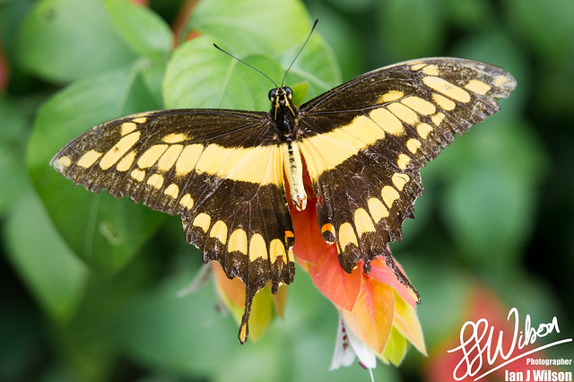 Swallow Tail – Daily Photo (24th November 2012)