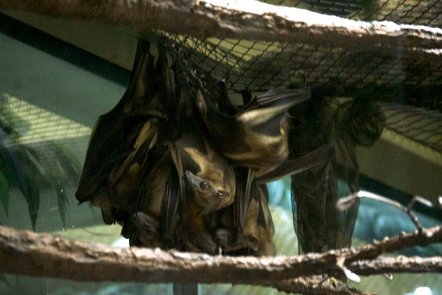 Straw Colored Fruit Bats