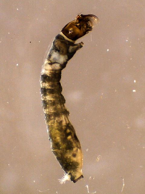 Black fly larva (Family Simuliidae), larva