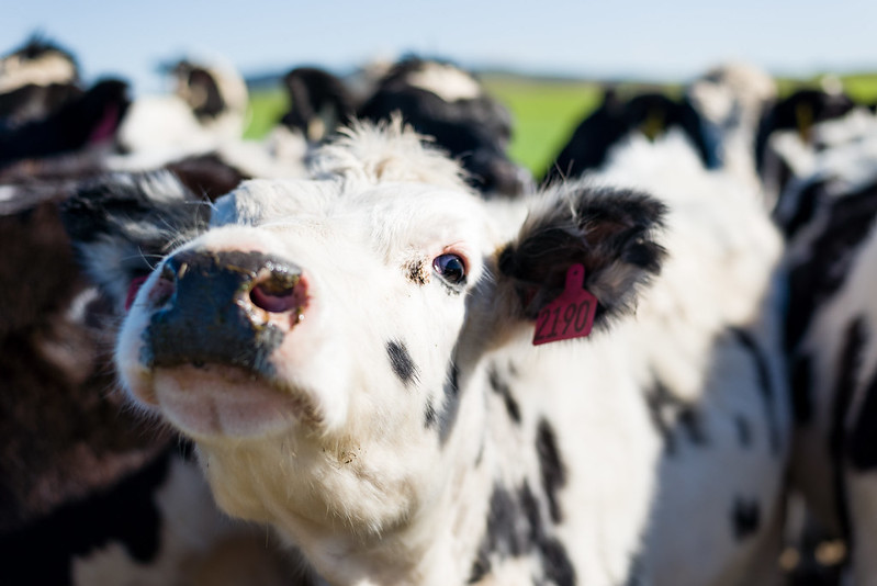 dairy cows of Point Reyes