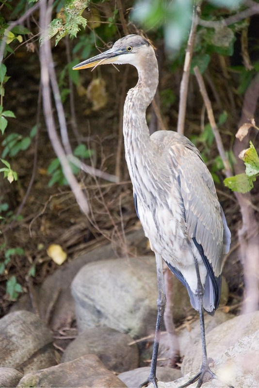 _DSC4772 Great Blue Heron