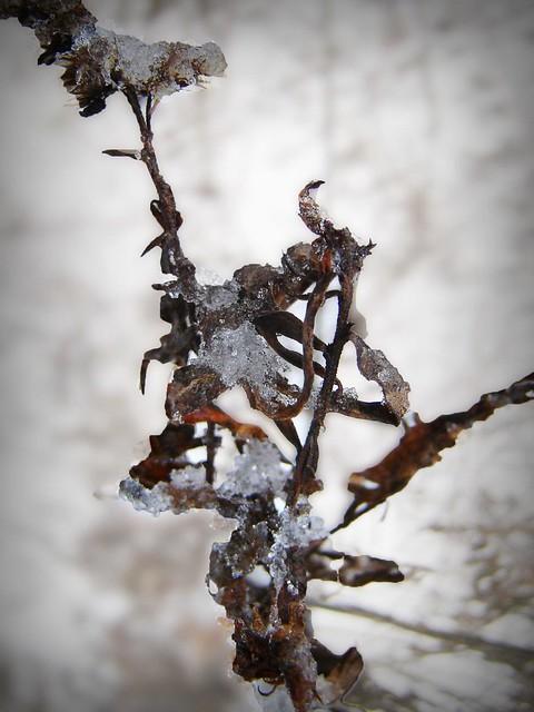 plant draped in winter sleet