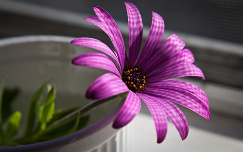 Пурпурный, цветок, макро by anna4man