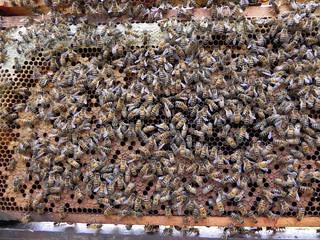Audubon's Honeybees