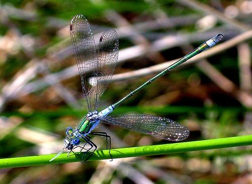 Emerald Damselfly Lestes sponsa