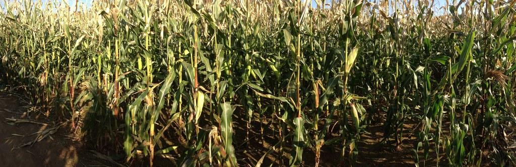 Fink's Farm: Corn Maze 3