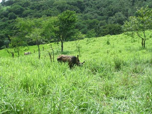 Dual purpose cattle grazing Brachiaria in silvopastoral systems in Nicaragua