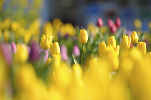 Тюльпаны, цветы, бутоны, желтые, красные, яркие, поляна by setyelina