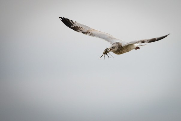 Herring Gull flies off with crab